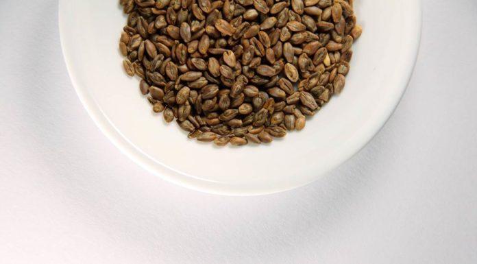 seme ječma u tanjiru