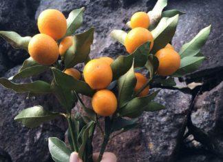 sveža biljka kumkvat