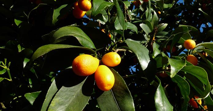 plod biljke kumkvat